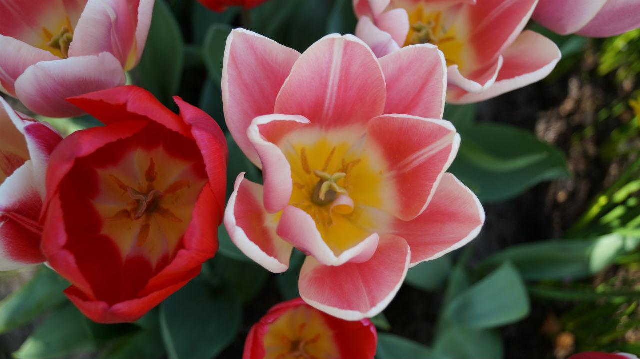 Come Si Piantano I Tulipani i you pick garden coi tulipani sono un successo anche in italia
